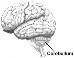 kleine hersenen